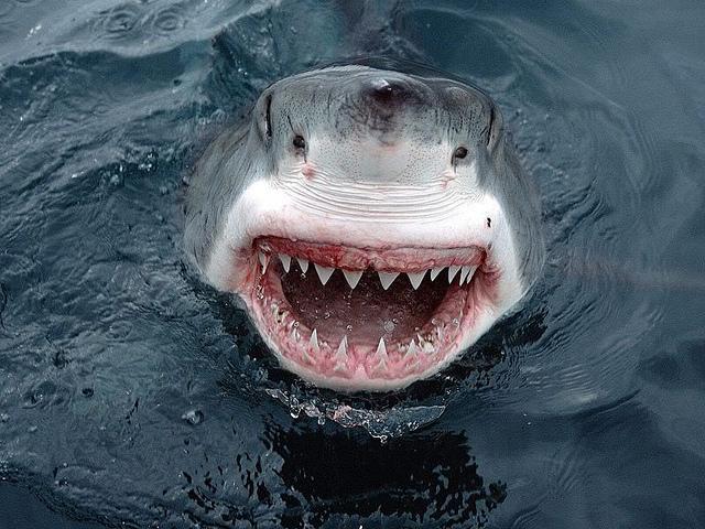 Les grands requins blancs sont rock'n'roll